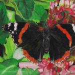 """Red Admiral Butterfly"" by LauraDunce"
