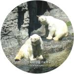 """NYC ZOO CENTRAL PARK polarbear"" by apanoramicview"
