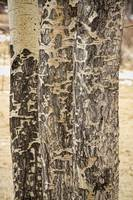 Elk Gnawed Horning Aspen Trees Fine Art Print