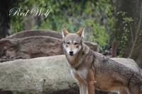 Red Wolf 1 Canvas