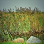"""""""Reeds by the water"""" by micspics444"""