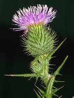 Beauty of The Thistle