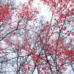 """canopy trees"" by Piri"