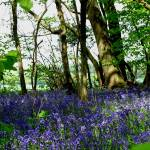 """bluebells"" by susanclark"