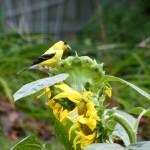 """Finch on Sunflower"" by naturephotos"
