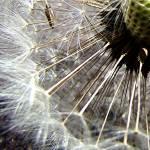 """Dandelion puff"" by RobinNellist"