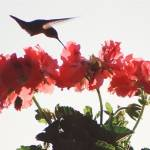 """Hummingbird on geranium"" by RobinNellist"