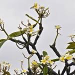 """""""Plumeria"""" by RobinNellist"""