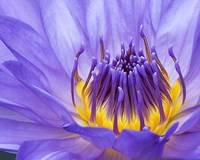 Water Lilly In Blue