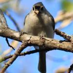 """Titmouse"" by KimberImages"
