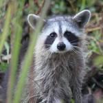 """""""Raccoon II"""" by KimberImages"""