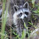 """""""Raccoon in the Park"""" by KimberImages"""
