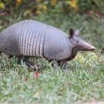 """Armadillo in the Park"" by KimberImages"
