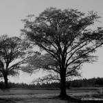 """Monochrome Trees"" by KimberImages"
