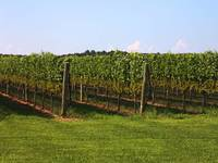 A North Fork Vineyard