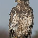 """""""Young Bald Eagle"""" by tagauthier"""