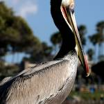"""""""Brown Pelican"""" by MNTPhoto"""