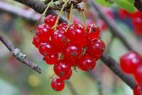 Bright red berries