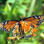 """Monarch and a Butterfly Weed"" by tricia"