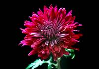Red Chrysanthemum by terencedavis floralart