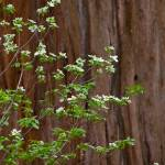 """Dogwood Masking Sequoia"" by G-Studios"