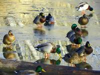 Mallard Ducks on Ice
