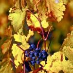 """Fruit of the Vine"" by raetucker"