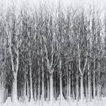 """poplars"" by dasar"