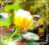 love is...yellow rose