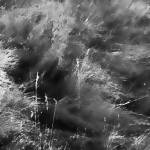 """Prairie Grasses    1239-4 Black and White Edition"" by BarbaraLin"
