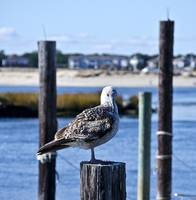 Seagull Sam Sits Serenely Staring
