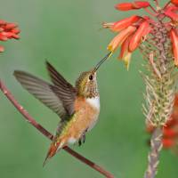 """Rufous Hummingbird in flight"" by PronghornPix"