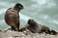 Common Asian Myna