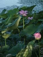 wildflowers Lotus