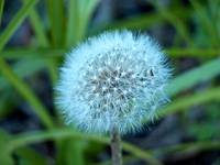 Classic Dandelion Seed Puff