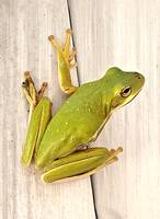 The Green Frog Scout