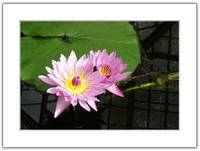 Water Lily III