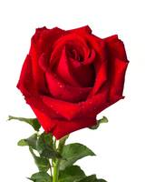 Heart form red rose