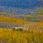 """Aspens in Autumn"" by PronghornPix"