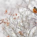 """Robin in Winter"" by PronghornPix"