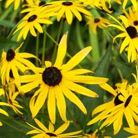 Brown Eyed Susans in Summer