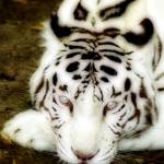 """White tiger"" by thierry"