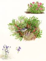 Sardinian Warbler - endemisms and nesting birds.