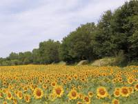 Sunflower field for ever