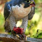"""Peregrine Falcon"" by jasonscottmeans"