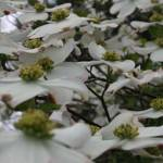 """Many Dogwood Blossoms"" by Weingartner"