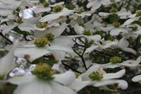 Many Dogwood Blossoms