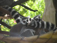 Lemur Friends