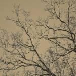 """oriental Sepia branches"" by carol29hynes"