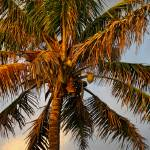 """Coconut palm tree,Hawaii"" by pierreleclerc"